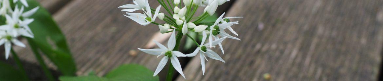 Bärlauch mit Blüte