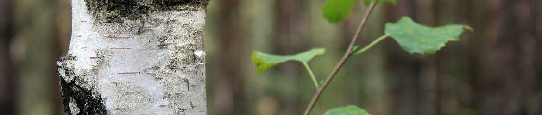 Birkensstamm mit Ast und Blaettern