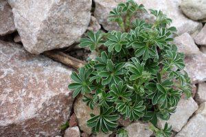 Alpen-Frauenmantel mit Felsen