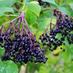 schwarze reife Holunderbeeren zu Ernten