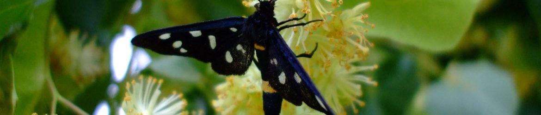 Reife Lindenblüte mit Schmetterling
