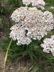 Schafgarbe mit weißer Blüte