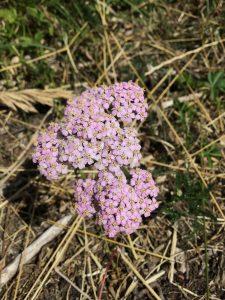 Schafgarbe mit rosa Blüte
