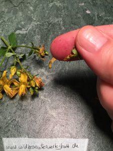 Johanniskrautblüte