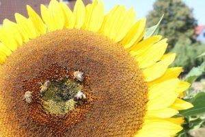 Honig-Bienen auf Sonnenblume