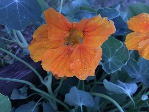 Kapuzinerkresse mit oranger Blüte