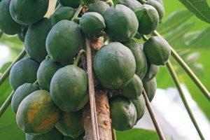 Melonenbaum