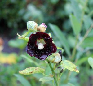 Stockrose, schwarze