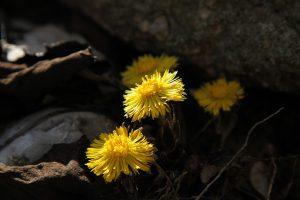 Huflattichblüten