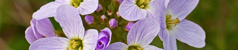 zart rosane Blueten des Wiesenschaumkrauts